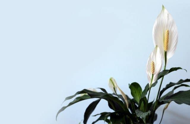 air purifying indoor plant for bedroom india