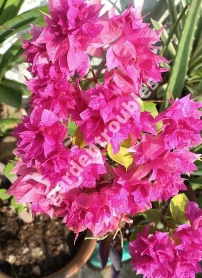 bougainvillea plant care india