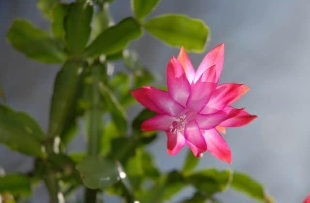 christmas cactus - flowering succulent