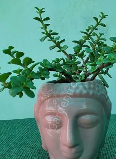 cutest type of succulent india