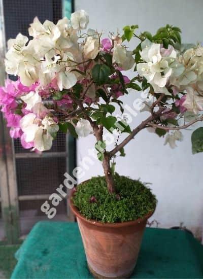 growing Bougainvillea in pots india