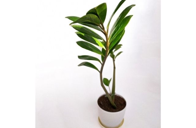 Do zz plants like to be root bound - Repotting a zz plant