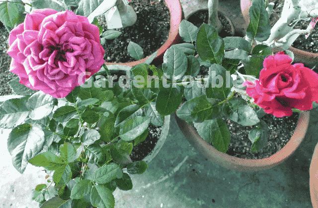 Rose Plant Care in India