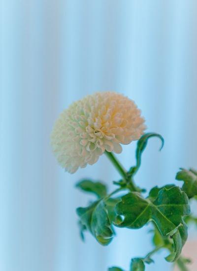 how to grow guldaudi plant - chrysanthemum flowering season in india