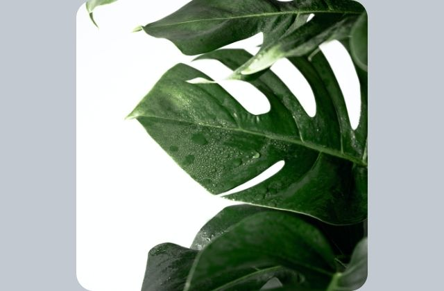 monstera leaves dripping water - Why is my monstera weeping