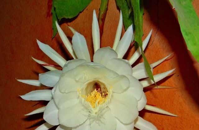 Brahma kamal plant care and grow
