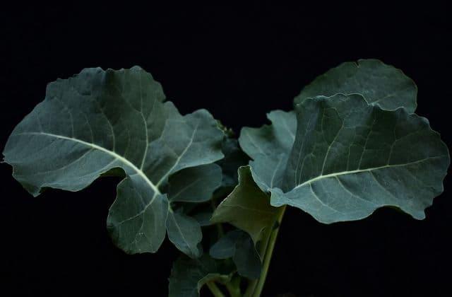 Broccoli Sapling