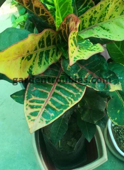 Croton Plant Care in India in Pots