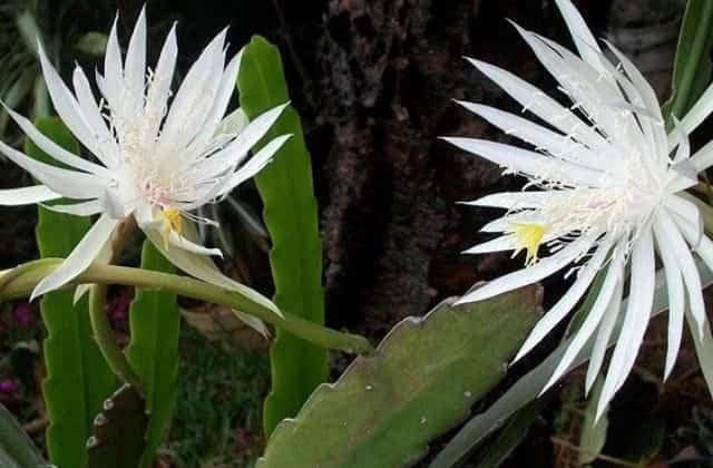 How to grow brahma kamal plant from cutting
