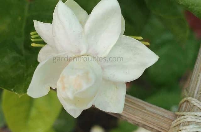 Mogra Plant Care