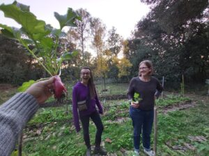 permaculture practice Harvesting radish in agroforestry