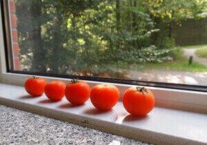 Tomatoes on window sill