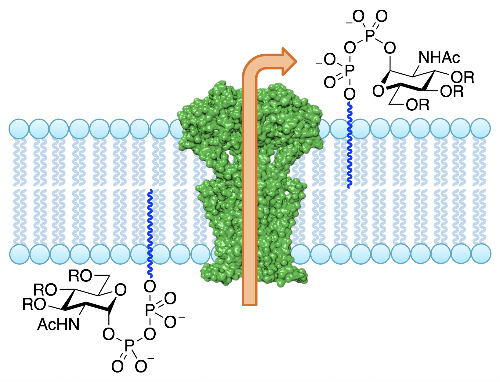 Generic picture of enzyme-mediated glycolipid flipping across a cell membrane