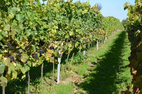 Rondo fruit in September