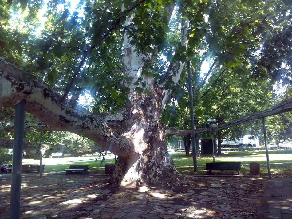 Spisak zaštićenih stabala u Beogradu