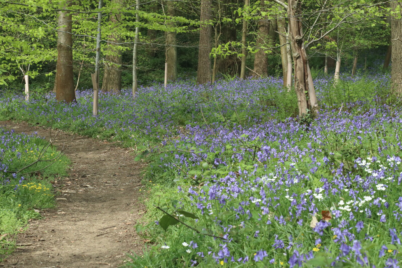 Bluebell carpeted forest floor