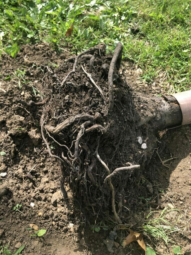 A poorly formed root plate