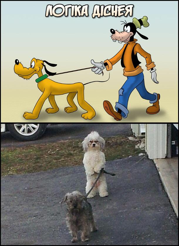 Логіка Діснея. Гуфі вигулює на повідку Плуто. Собака вигулює собаку