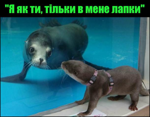 В зоопарку в басейні за склом плаває тюлень. До скла підійшла видра і вони глянули одне на одного - неначе близнюки. Видра: - Я як ти, тільки в мене лапки