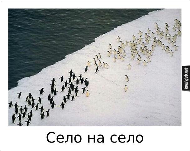 Смішне фото. В Антарктиді дві зграї пінгвінів біжать назустріч одна одній. Ніби буде махач село на село