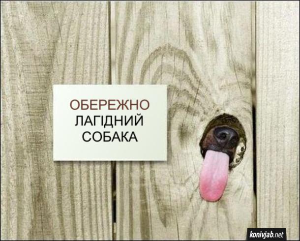 Смішна табличка на паркані - Обережно, лагідний собака. Крізь дірку в заборі виглядає собачий писок і висунутий язик