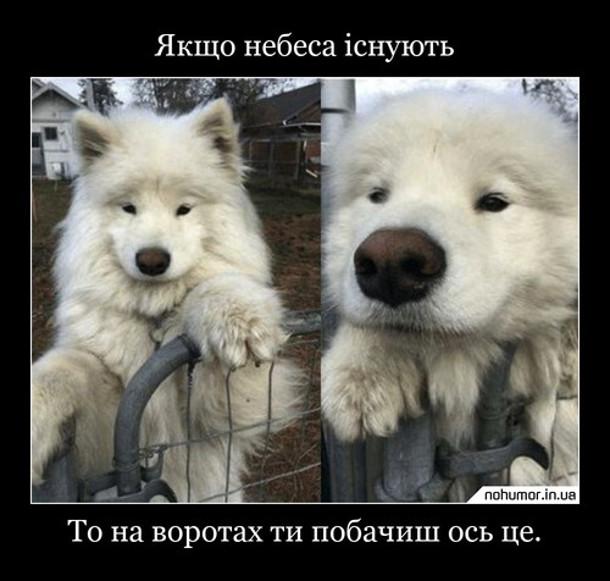 Собака самоїд. Якщо небеса існують, то на воротах ти побачиш ось це - милий песик породи самоїд