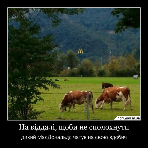 Прикол МакДональдс і корови. На віддалі, щоби не сполохнути, дикий МакДональдс чатує на всою здобич. На галявині пасуться корови, а позаду виглядає вивіска McDonald's