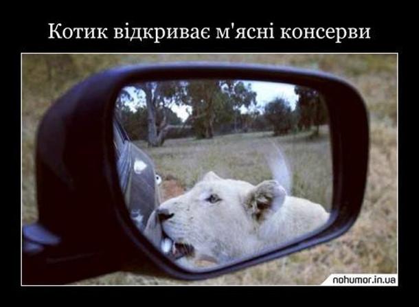 Прикол про лева. Левиця зубами намагається відчинити дверцята автомобіля. Котик відкриває м'ясні консерви