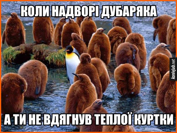 Смішна картинка про пінгвінів. Стоять малі пінгвіни, вкриті пухом, а серед них один дорослий пінгвін зі звичайним пір'яним покривом. Коли надворі дубаряка, а ти не вдягнув теплої куртки
