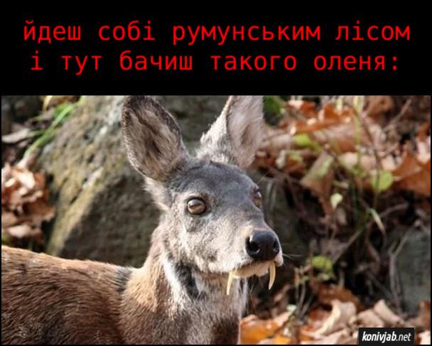 Прикол Олень-вампір. Йдеш собі румунським лісом і тут бачиш такого оленя з іклами, неначе у вампіра. Це олень кабарга