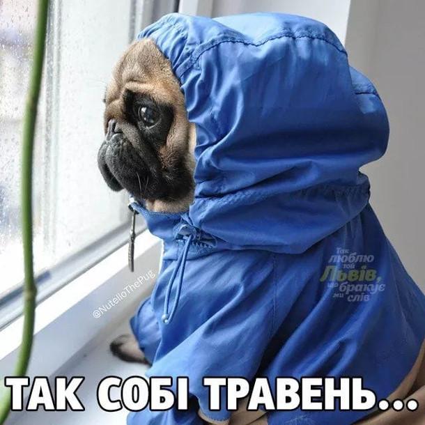 Мем Дощі в травні. Песик мопс в дощовику сидить біля вікна і дивиться на дощ. Так собі травень