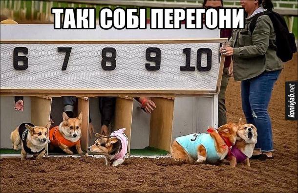 Смішні перегони собак породи вельш коргі. Собаки біжать неохоче і гризуться одне з одним. Такі собі перегони