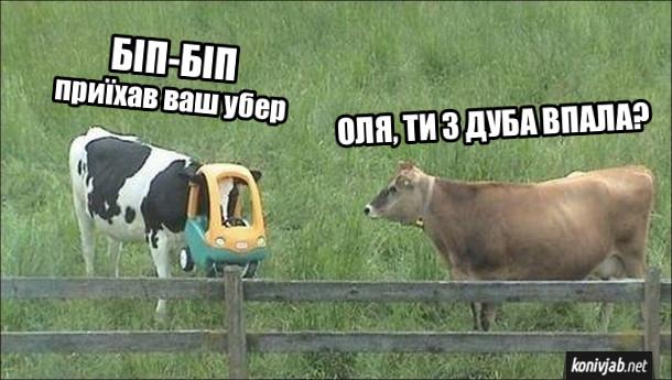 Прикол про корів. Одна корова з дитячим автомобільчиком на голові: - Біп-біп, приїхав ваш убер. Друга корова: - Оля, ти з дуба впала?