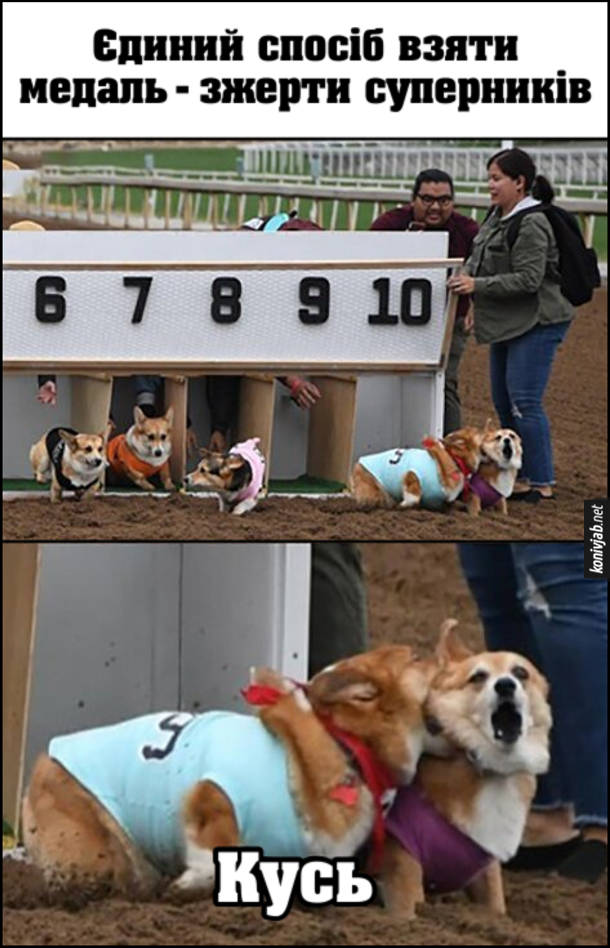 """Прикол перегони собак породи Вельш Коргі. Єдиний спосіб взяти медаль - зжерти суперників. Один з собак на старті вкусив суперника (зробив """"Кусь"""")"""