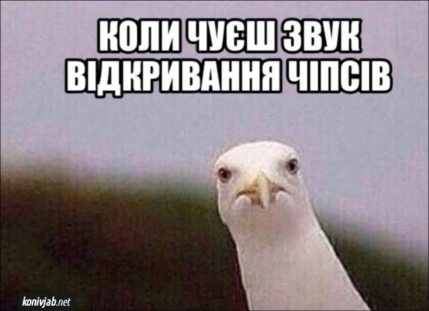 Мем Мартин (чайка). Коли чуєш звук відкривання чіпсів.