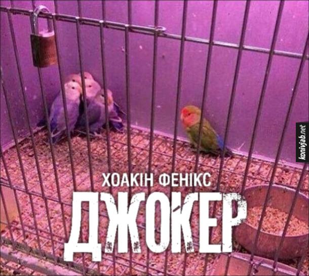 Прикол Джокер. Постер фільму Джокер з Хоакіном Феніксом. В клітці блакитно білі папуги збилися в куток і боязко дивляться зелено-червоно-синього папугу