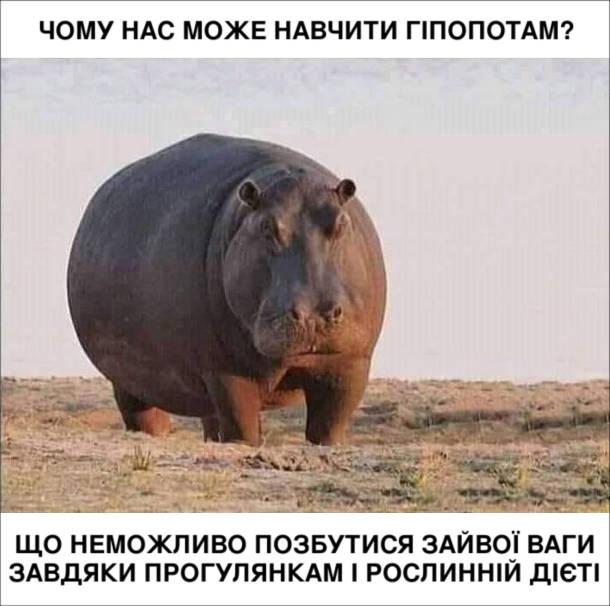 Мем про гіпопотама. Чому нас може навчити гіпопотам? Що неможливо позбутися зайвої ваги завдяки прогулянкам і рослинній дієті