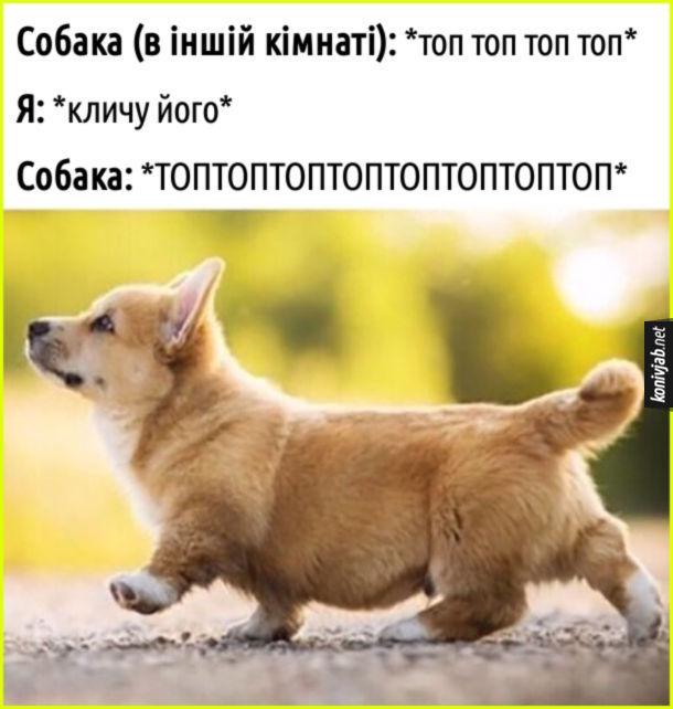 Прикол Коргі. Собака (в іншій кімнаті): *топ топ топ топ*. Я: *кличу його*. Собака: топтоптоптоптоп