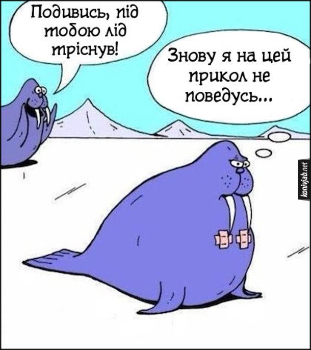 Смішний малюнок про моржів. - Подивись, під тобою лід тріснув! - Знову я на цей прикол не поведусь.