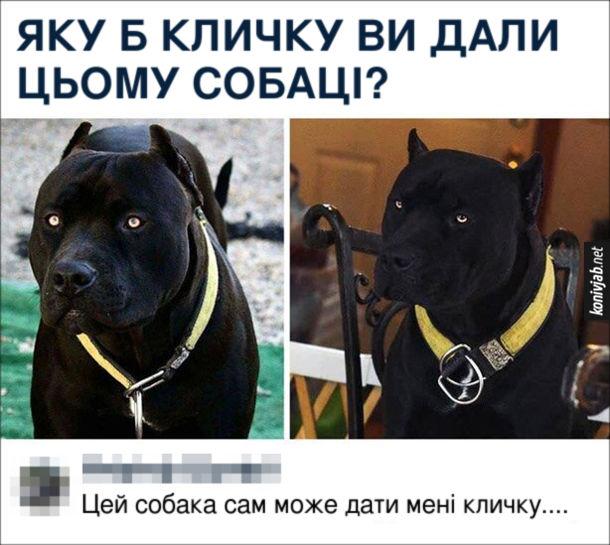 Прикол Чорний пітбуль. Яку б кличку ви дали цьому собаці? Комент: Цей собака сам може дати мені кличку...