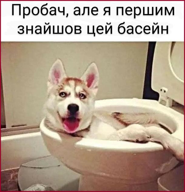 Смішна фотка Пес в унітазі: - Пробач, але я першим знайшов цей басейн