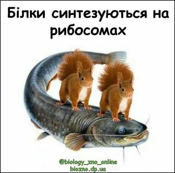Мем Мікробіологія.  Білки минтезуються на рибосомах. Дві білки сидять на сомові