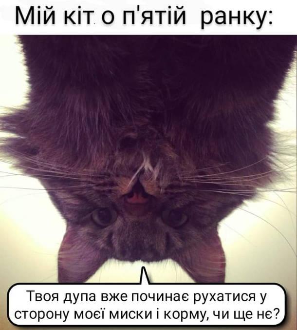 Мем Кіт розбудив зранку. Мій кіт о п'ятій ранку: - Твоя дупа вже починає рухатися у сторону моєї миски і корму, чи ще не?