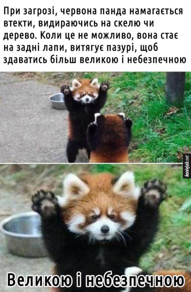 Мем Червона панда. При загрозі, червона панда намагається втекти, видираючись на скелю чи дерево. Коли це не можливо, вона стає на задні лапи, витягує пазурі, щоб здаватись більш великою і небезпечною