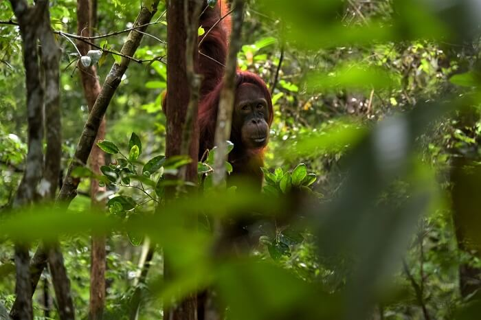Orangutans Indonesia