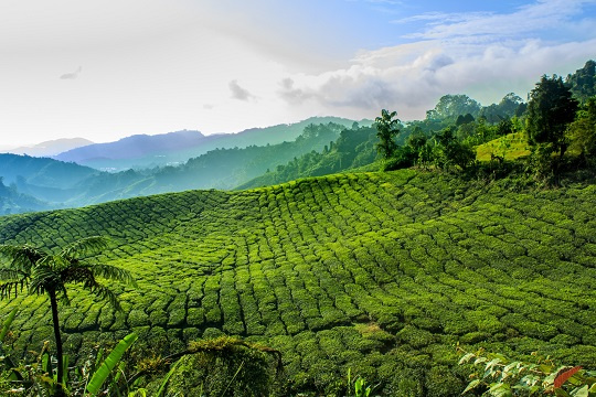 Rolling tea plantations in Cameron Highlands, Malaysia