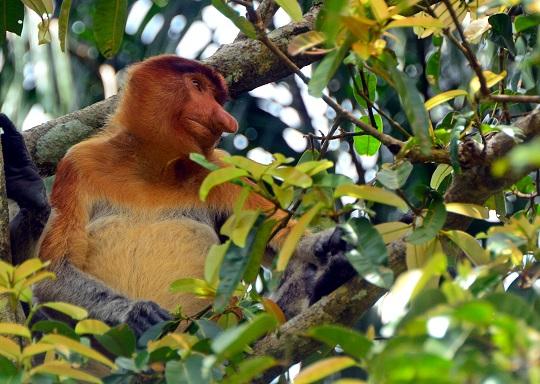 Monkey sitting on tree in Sarawak malaysia