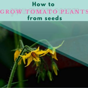 HOW-TO-GROW-TOMATO-PLANTS-FROM-SEEDS