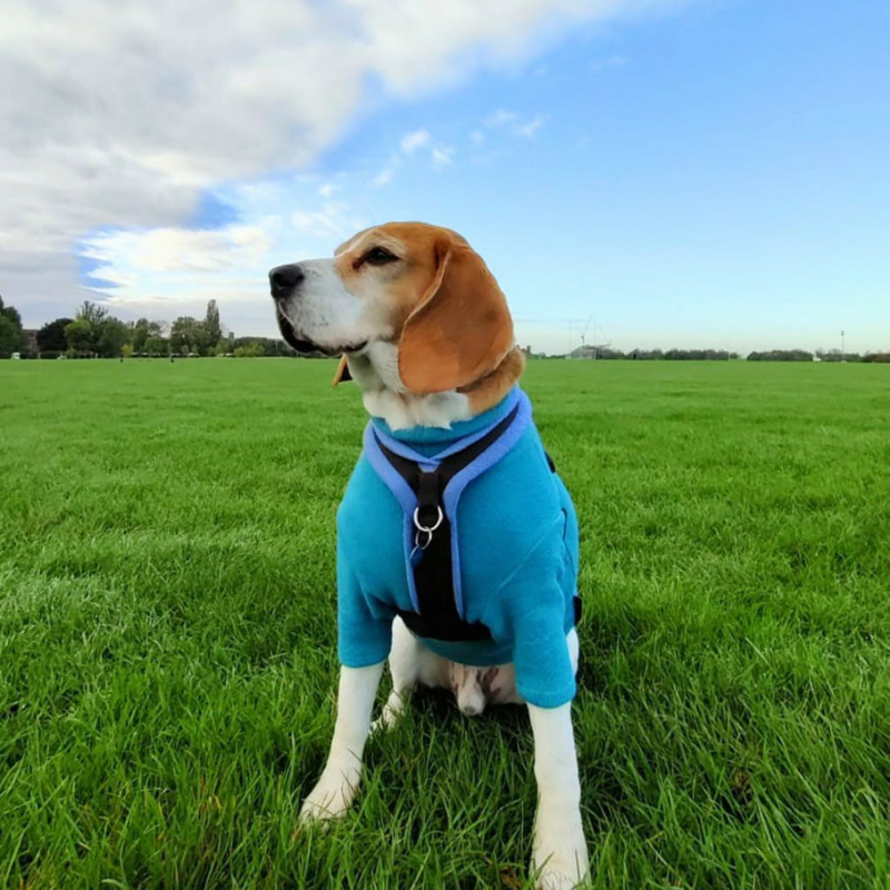 bowie the beagle