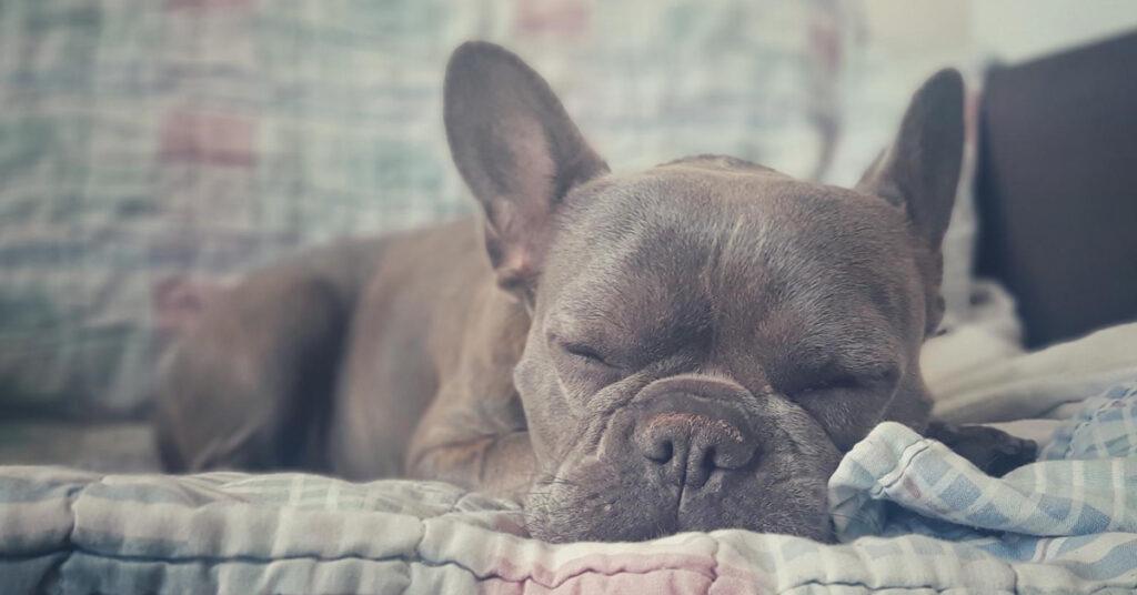 frenchie sleeping on the sofa